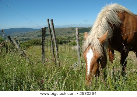 Grazing Comtois Draught Horse In The Cevennes
