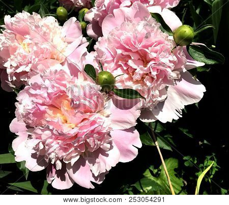 The Colorful Photo Shows Blooming Flower Peony With Leaves, Unusual Aroma Bouquet Flora. Flower Peon