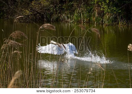 Photo Of A Male Mute Swan Taking Off From Water