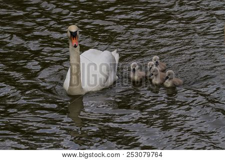 Photo Of A Group Of A Five Mute Swan Signets Swimming With An Adult