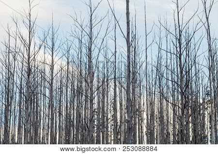 Burnt And Dead Trees On A Hillside Above Marysville In Victoria, Australia, Following The 2009 Bushf