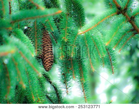 Beautiful Norwegian Conifer With Pine Cone And Ice.