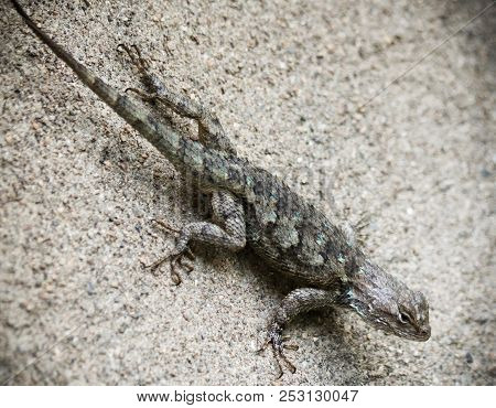 A Clark's Spiny Lizard, Sceloporus clarkii, found in the sonoran desert regions of Arizona and Mexico. poster