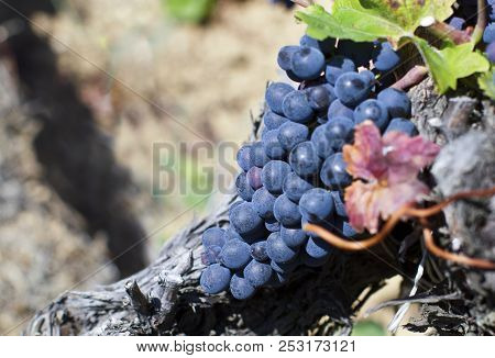 Close Up Of Ripe Red Grapes Ready For Autumn Harvest Vineyard With Grape-bearing Vines. Sangiovese ,