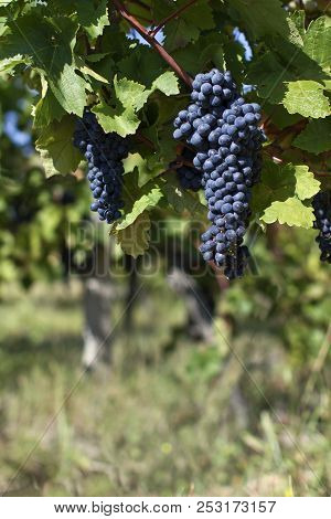Close Up Of Ripe Red Grapes Ready For Autumn Harvest