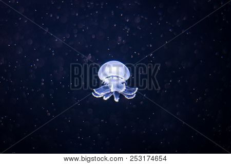 Cannonball Jellyfish In The Berlin Aquarium, Germany