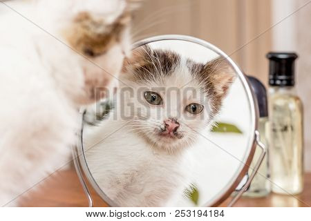 A Small White Kitten Looks In The Mirror. Reflection Cat's In The  Mirror_