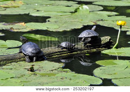 The European Pond Turtle, Also Called The European Pond Terrapin And European Pond Tortoise.