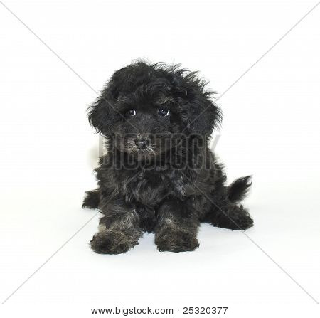Malti-poo Puppy With A  Sad Face