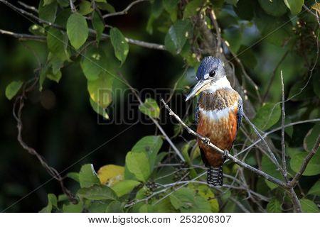 Ringed Kingfisher (megaceryle Torquata) Against Fooliage. Pantanal, Brazil