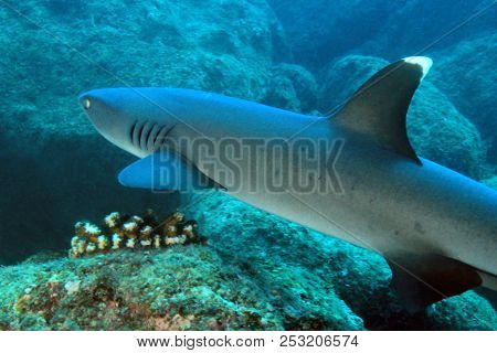 Whitetip Reef Shark (triaenodon Obesus) Swimming Over Reef. Coiba, Panama