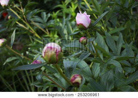 Big Beautiful Pink Bud Of Garden Peony
