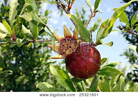 A pomegranate plant with ripe red fruits