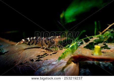 Tibee Shrimp Aquarium Hobby Pets Freshwater Nature Tiger Bee