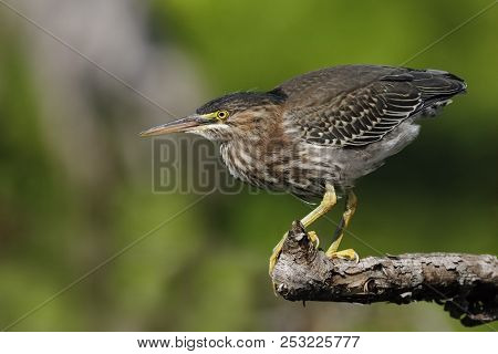Juvenile Green Heron (butorides Virescens) Stalking Its Prey  From A Branch Overhanging The Water -