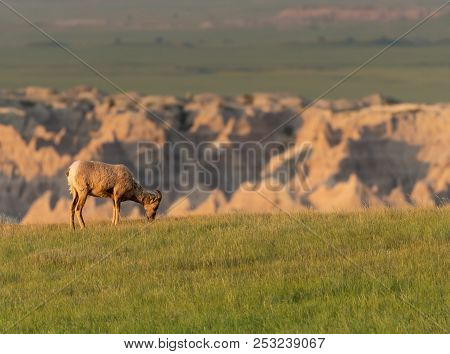 Profile Of Bighorn Sheep Eating Grass With Badlands Behind