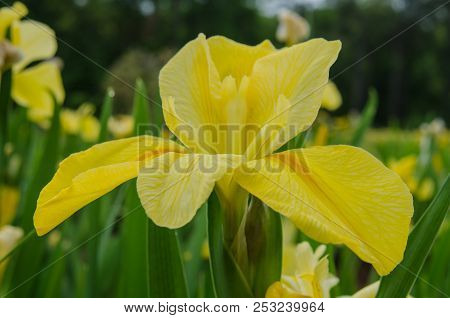 A Yellow Iris Is Open Wide During Spring