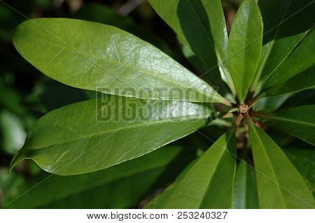 Image Of Vivid Green Rhododendron Leaves Foliage Background