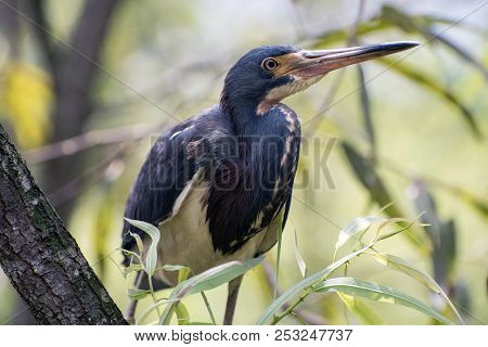 A Tricolored Heron Sits In A Tree.