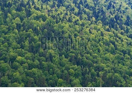 Hillside Of Dense Mixed Forest Of Green Coniferous And Deciduous Trees
