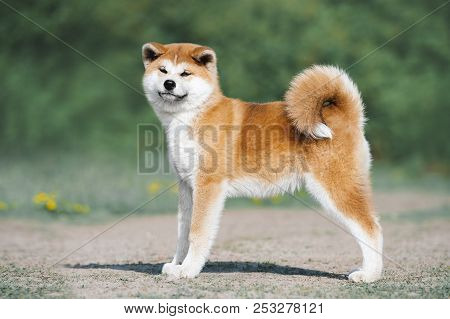 poster of Akita Inu puppy conformation. Red furry dog on a green background