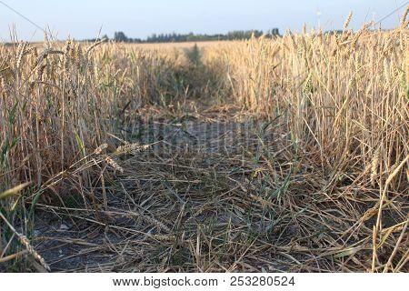 Grain Fields In Moerkapelle In The Evening Sun At Farm In The Netherlands.