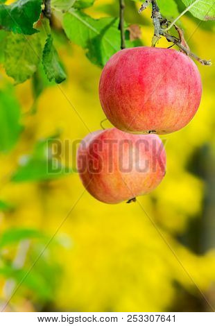 Two Ripe Apples On A Brunch. Harvest Time In Autumn.