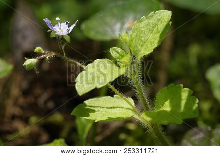 Wood Speedwell - Veronica Montana Small Flower Of Damp Woodlands
