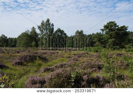 The Heathland Area Of Allerthorpe Woods Near Pocklington Is An Ideal Habitat For Adders