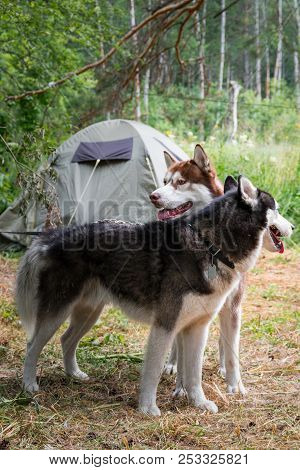 Two Dogs On The Background Green Tent In Forest Camp. Siberian Husky Dogs Stand Side By Side And Loo