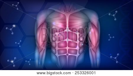 Muscles Of The Human Body, Face, Torso And Arms, Beautiful Colorful Illustration Isolated On A White