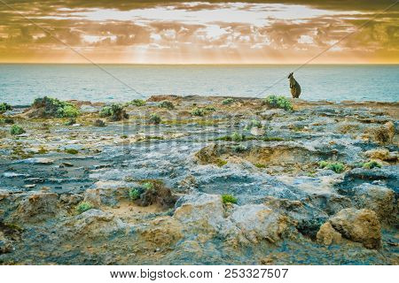 Kangaroo Chilling By The Sea At Sunset In Australia