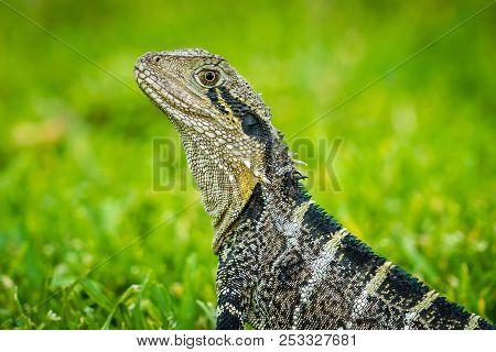 Close Up Shot Of An Australian Water Dragon Intellagama Lesueurii