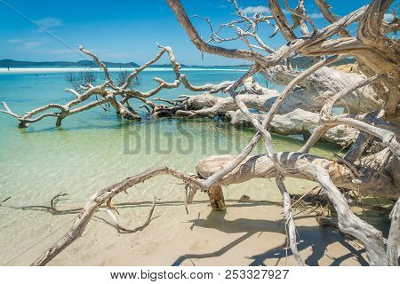 White Dead Tree In The Water Of Whitehaven Beach In Australia