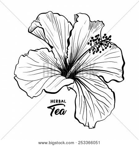 Hawaiian Hibiscus Fragrance Flower Or Mallow Chenese Rose. Black And White Flora And Isolated Botany