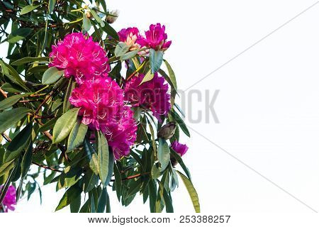 Pink Rhododendron Flowers Isolated On White Background With Copy Spacepink Rhododendron Flowers Isol