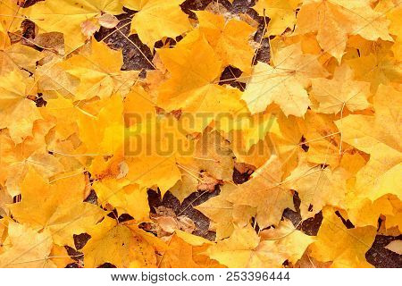 The dry autumn leaves. Yellow maple leaves under my feet. Yellow maple leaves on the road. Fallen leaves. Golden autumn. Walk in autumn Park. The background of yellow maple dry autumn leaves