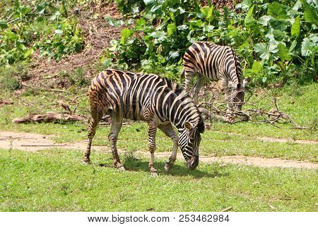 Zebras Are Several Species Of African Equids United By Their Distinctive Black And White Striped Coa