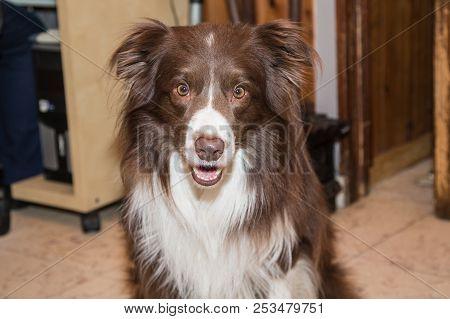 Border Collie Dog Outdoor Living In Belgium