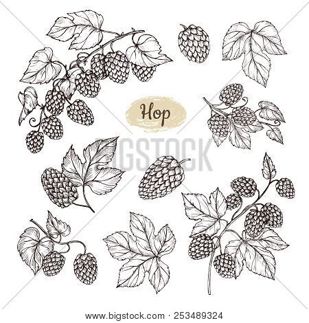 Hop Plant Branch With Leaves And Lump Of Hops In Engraving Style. Beer Pub Rural Vector Elements. Ve