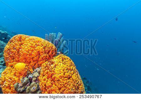 Coral Reef In Carbiiean Sea Elephant Ear Sponge