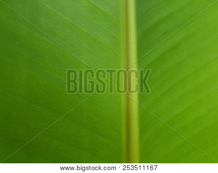 Detailed Of Fresh Green Banana Leaf Colsed Up Texture Background
