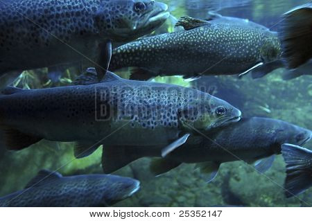 Swarm Of Trouts
