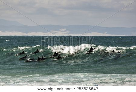 Pod Of Bottlenose Dolphins Surfing A Wave In Jeffreys Bay, South Africa
