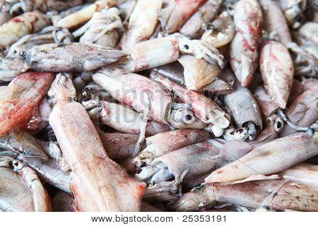 Squid (Photololigo duvauceli),