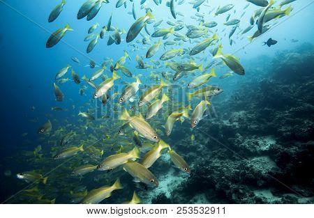 School Of Bigeye Snapper (lutjanus Lutjanus) Fish Underwater At Mabul Island, Borneo