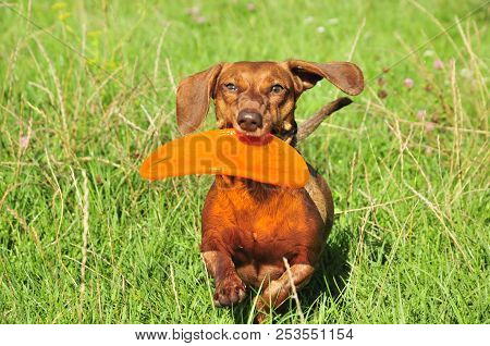 Dog Breed Standard Smooth-haired Dachshund, Bright Red Color. Dog Running With Flying Saucer. Dog Pl