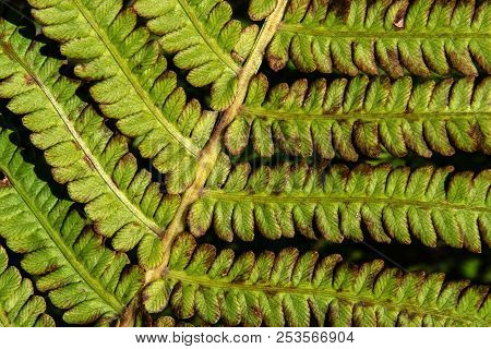 Exotic Fern Leaf Close Up, Withering Green Summer Plants And Leafs