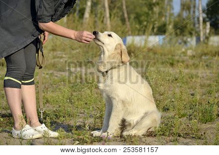 The Dog Performs The Commands Of The Owner. Labrador Retriever. Obedient Puppy. Puppies Education, C