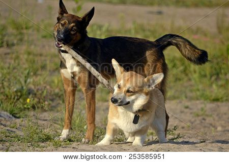 Dogs Play With Each Other. Corgi Pembroke. Merry Fuss Puppies. Aggressive Dog. Training Of Dogs.  Pu